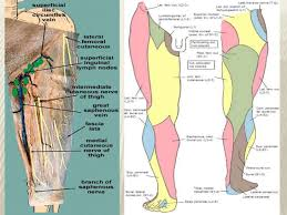 Nerves In The Knee Anatomy Cutaneous Innervation Of Lower Limb