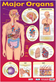 Online Human Body Find Your Way Around The Human Body Major Organs Of The Body