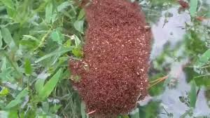 floating venomous fire ants threats hurricane u0027s wake