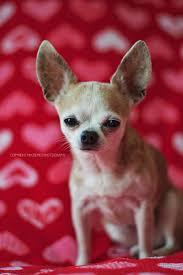 Valentine S Day by 59 Best Valentine U0027s Day Pets Images On Pinterest Valentines Day