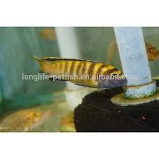 freshwater ornamental fish tank aquarium pseudotropheus flavus for