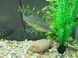introducing a largemouth bass to my aquarium youtube introducing a largemouth bass to my aquarium paramount fishing