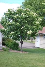 oramental trees