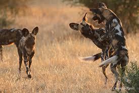 safari ltd african wild dog to see african wild dog on safari luxury africa safaris by ker