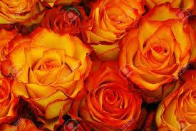 orange roses orange roses picture