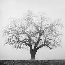 125 best tree images on maple leaves