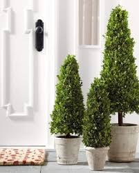 topiary trees boxwood topiary trees foter