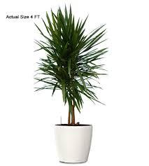 ornamental plant dracaena standard ornamental plant