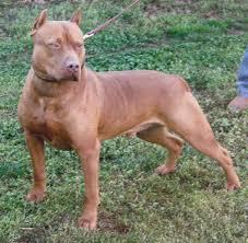 american pitbull terrier mix american pitbull terrier mix with american bulldog dog and cat