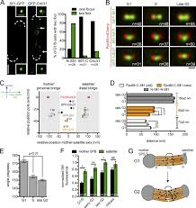 molecular model of fission yeast centrosome assembly determined by