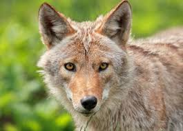 North Carolina wildlife images Commission settles suit over coyotes red wolves carolina jpg