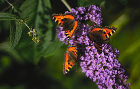 butterfly bushes 3 reasons to never plant a butterfly bush