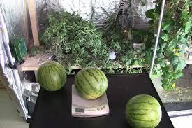 how to u0026 how not to grow watermelon indoors garden culture