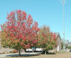trimming bradford pear trees this can t be right can it the