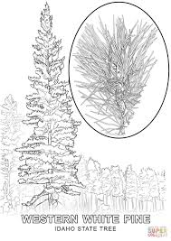 idaho state tree coloring page free printable coloring pages