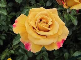 Fragrant Rose Plants - honey dijon the fragrant rose company roses pinterest