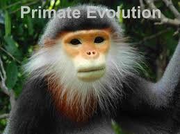 primates and human origins ppt video online download
