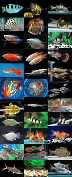 live guppy fish for sale to aquarium fish importer and exporter