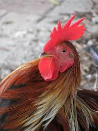 rooster portrait i key west backyard restaurant key west and