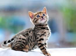 beautiful kittens 40 impossibly beautiful bengal kitten pictures
