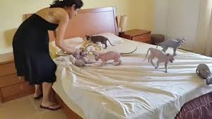 making the bed with 8 egyptian hairless cats coub gifs with sound
