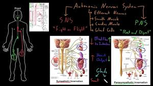 Ans Anatomy And Physiology Autonomic Nervous System Video Khan Academy