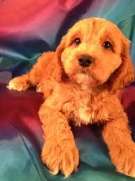 puppies for sale pa cockapoo puppies for sale in philadelphia pa can cost what
