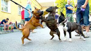 american stanford terrier y american pitbull terrier admin needforpet page 14