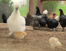 Chicken In Backyard 430 Best Chickens Images On Pinterest Animals Chicken And