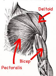 Anatomy Of Shoulder Muscles And Tendons Shoulder Anatomy