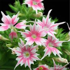phlox flower 2018 phlox twinkle flower seeds easy to grow from seeds