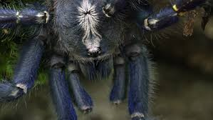 tight of a gooty sapphire ornamental tree spider crawling on