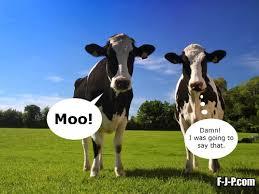 Moo Meme - funny two cows moo meme cows mooing meme and humor