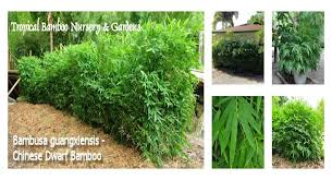 tropical bamboo nursery u0026 gardens the bamboo plant source