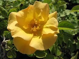 hardy roses morden nurseries and garden center