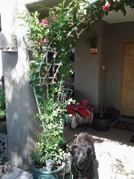 mandevilla in a pot u2013 tjs garden