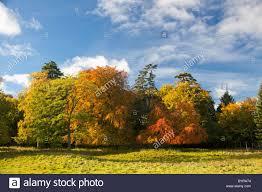 autumn colored leaves on the trees scottish borders scotland