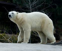 category archives polar bears