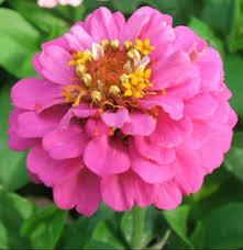 Zinnia Flower Zinnias