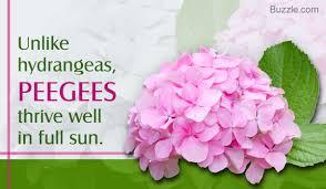 hydrangea apt ideas on how to grow and care for peegee hydrangea shrubs