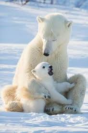 Two Polar Bears In A Bathtub Source Thepolarbearblog Tin Man Lee Polar Bears Pinterest