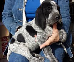 bluetick coonhound breeders in michigan ukc forums old fashioned bluetick blue gascon puppies for sale