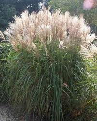 best 25 perrenial grasses ideas on ornamental plants