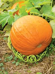 how to grow pumpkins growing pumpkins and squash gardeners com