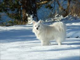 american eskimo dog varieties american eskimo dog cliffie in the snow his first time dogs