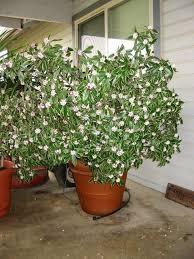 Fragrant Shade Plants - 64 best daphne daphne daphne images on pinterest garden ideas