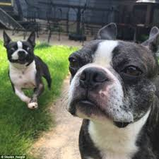 Boston Terrier Meme - boston terrier s furious expression after companion photobombed