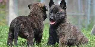 belgian sheepdog hypoallergenic dutch shepherd dog information characteristics facts names
