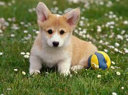 lovely puppy wallpapers pc lovely puppy special photos