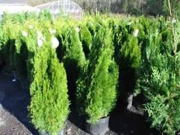 best looking top quality spruce trees in bucks